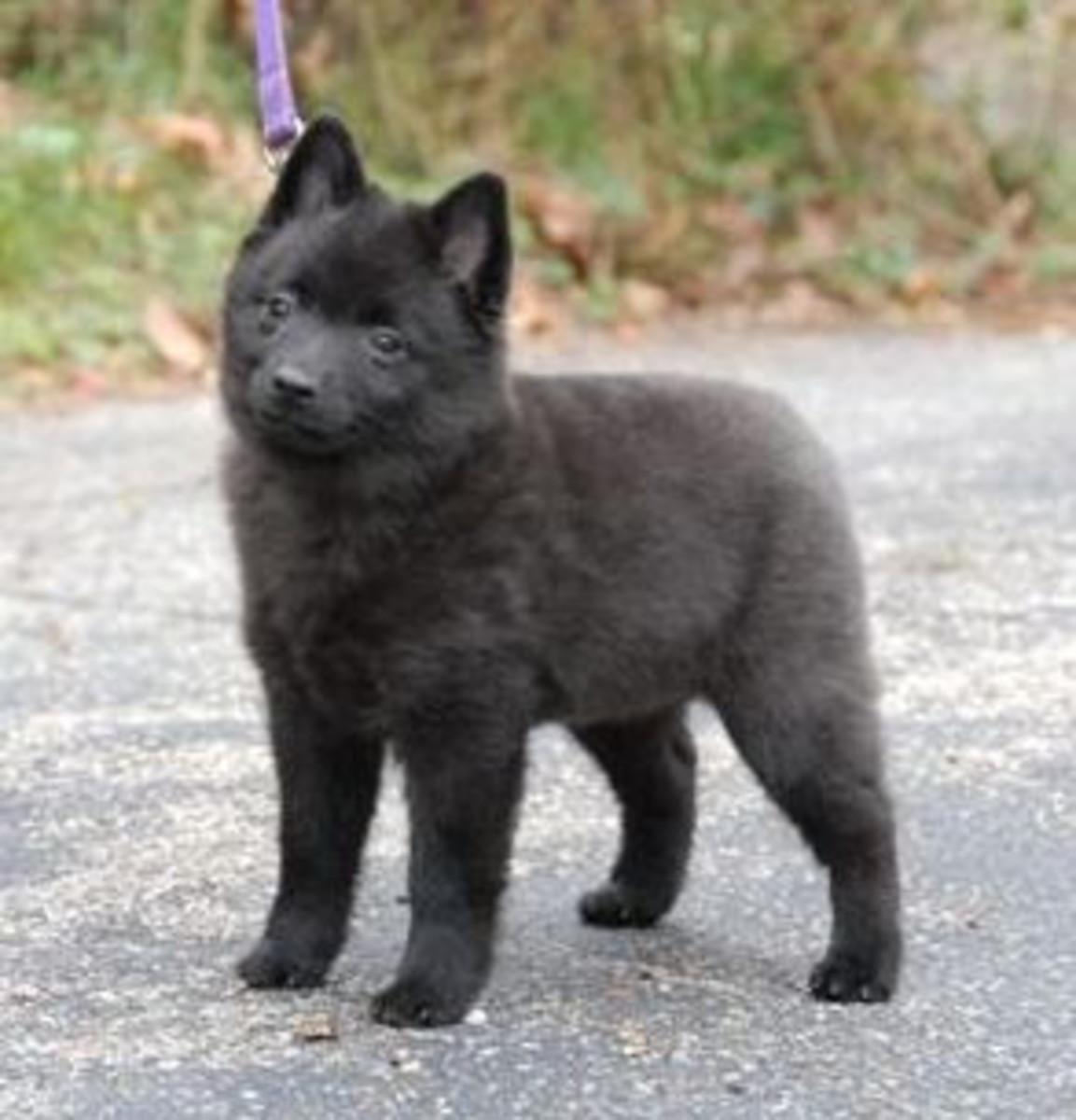 A Schipperke puppy.