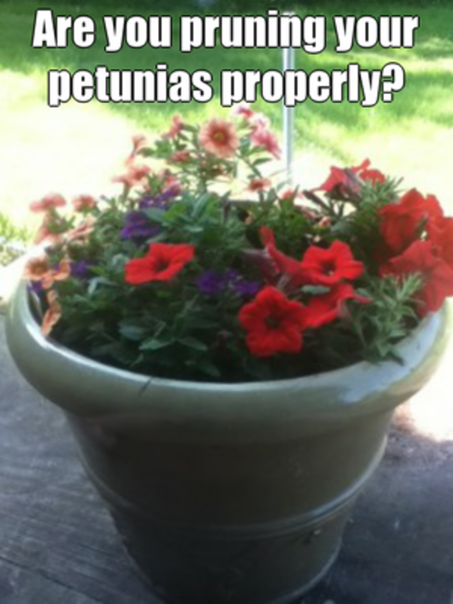 Are you pruning your petunias properly?