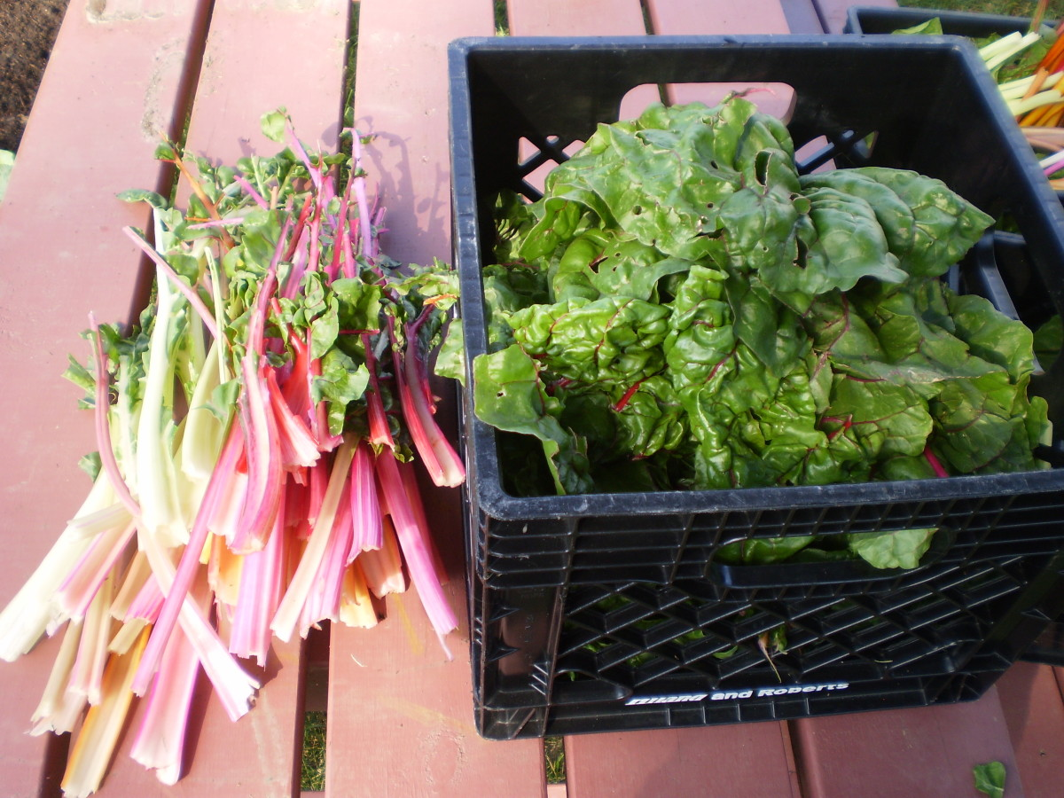 how-to-harvest-blanch-freeze-and-store-swiss-chard