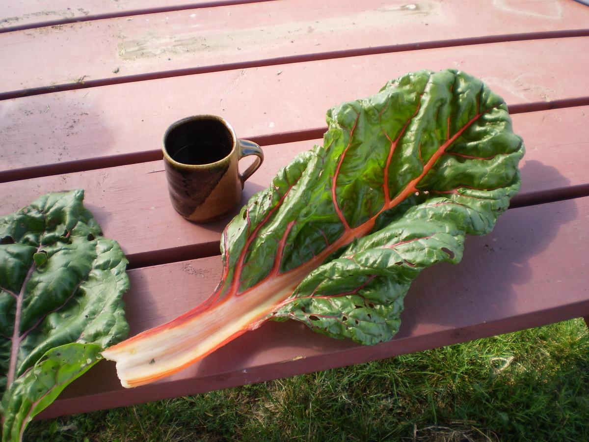 Biggest leaf of the harvest!