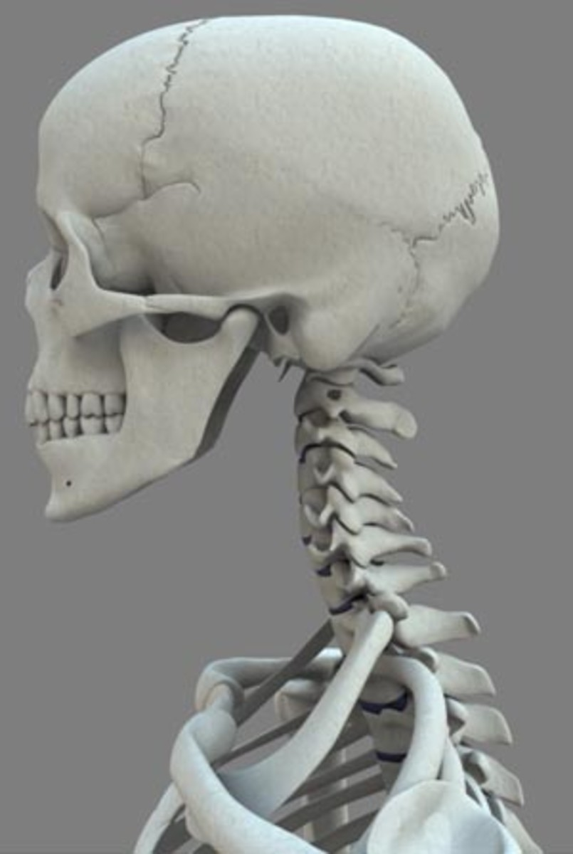 Cervical-- of or relating to the neck. Chiropractic Image of Cervical Area.
