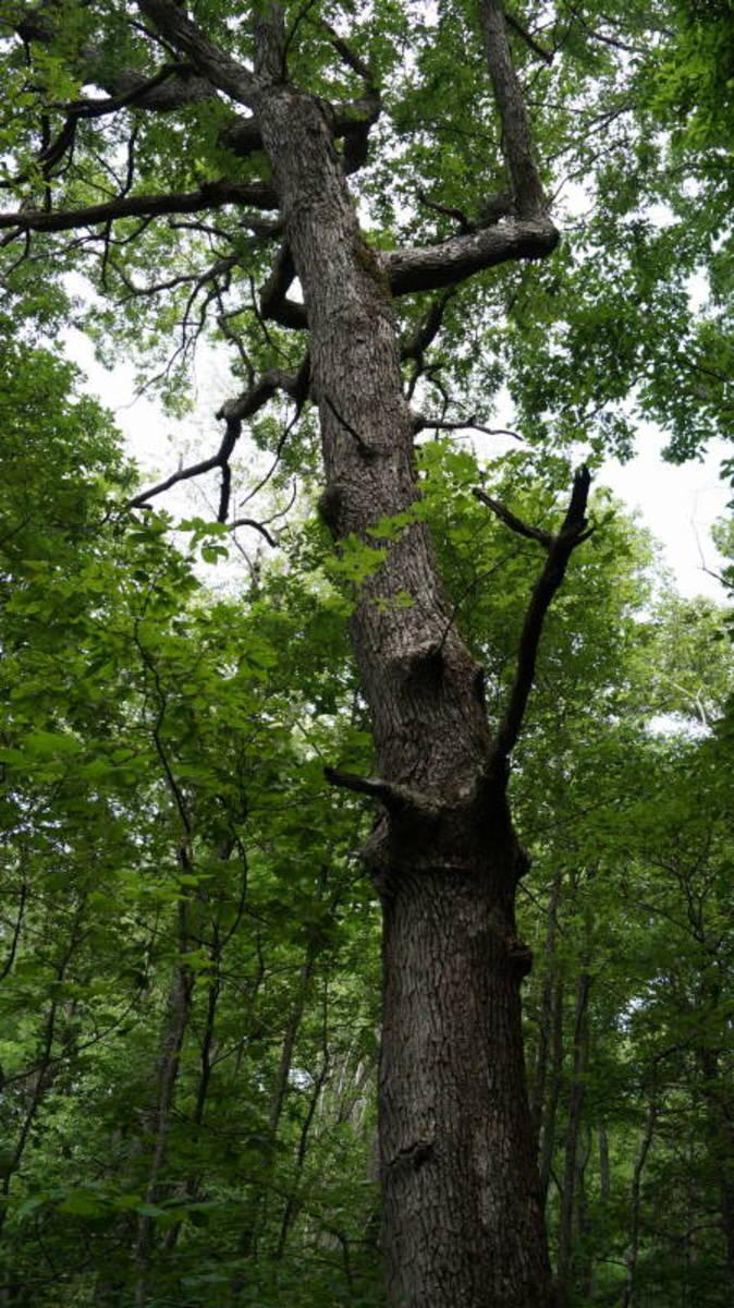 This oak tree (I think it's oak, anyways) has lots of interesting burls growing on it.