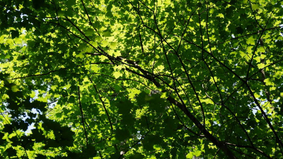 I loved the way the leaves captured the light in the forest canopy.