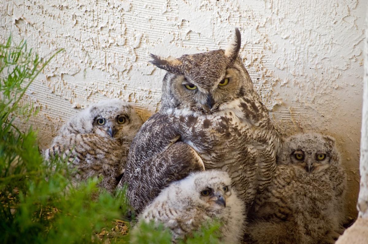 3 week old chicks in their nest, Arizona.