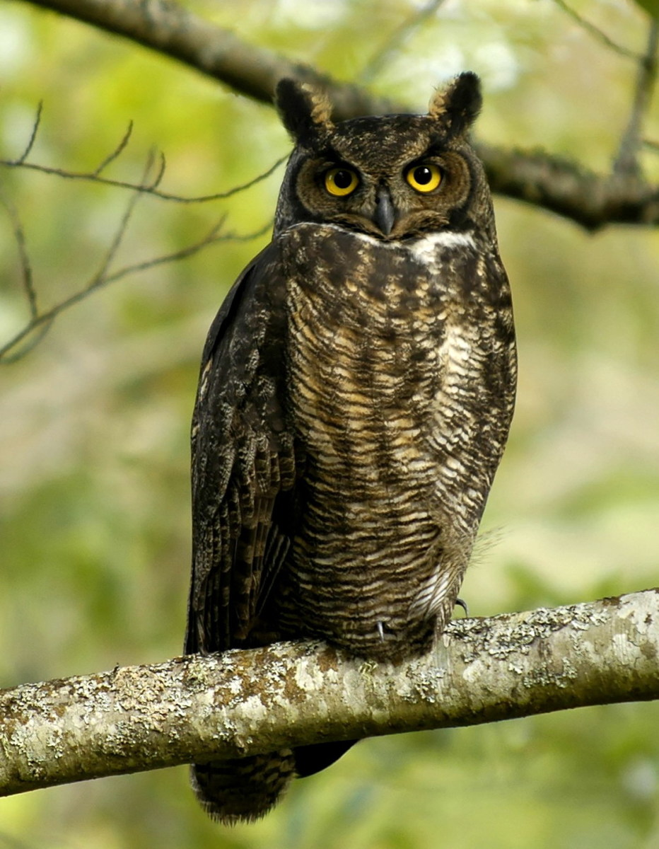 The Great Horned Owl.