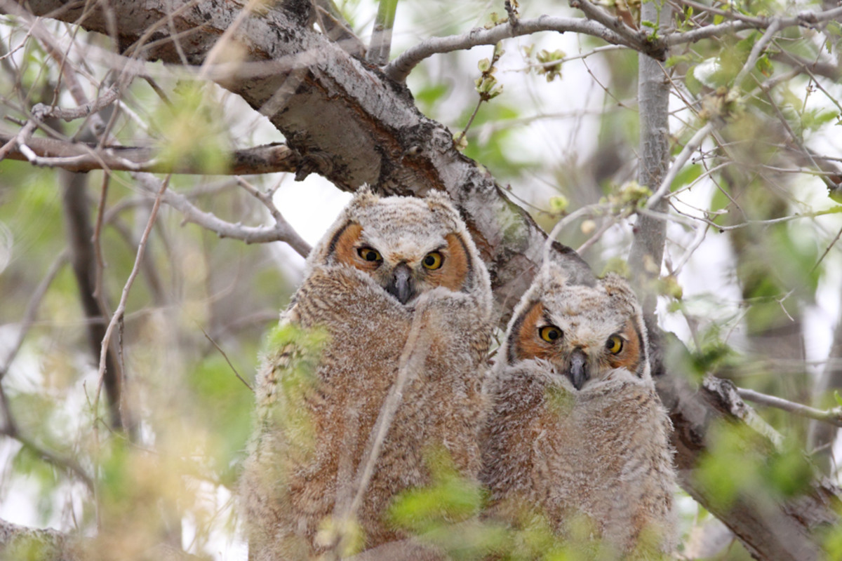 A pair of juvenile Great Horned Owls.