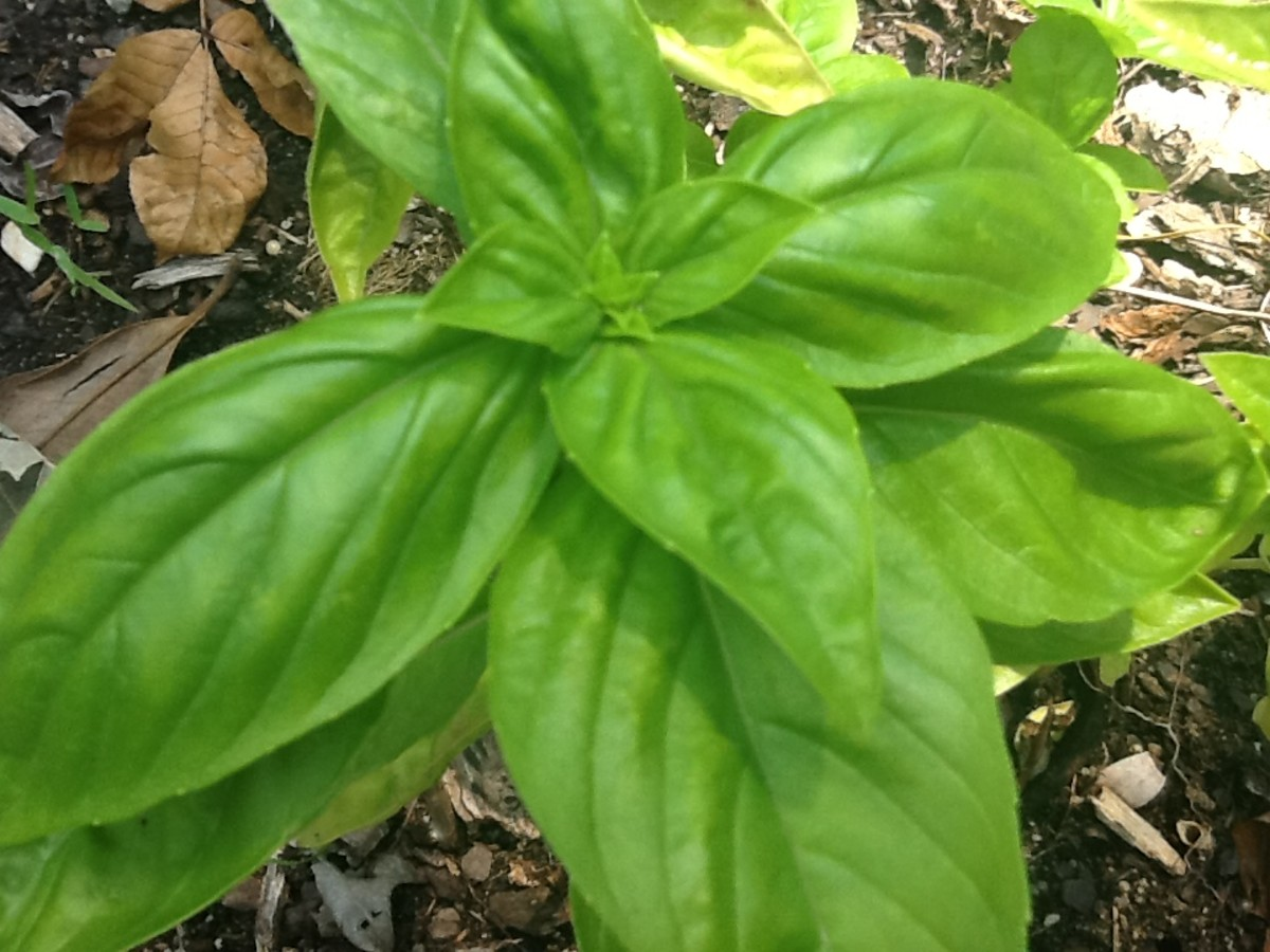 Fresh basil in the garden
