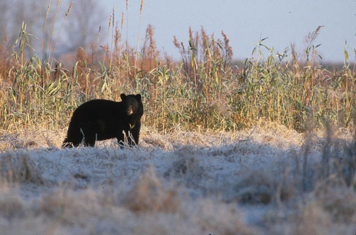 Black bears are protected in the Pocosin National Wildlife Refuge and are a common sight for visitors.