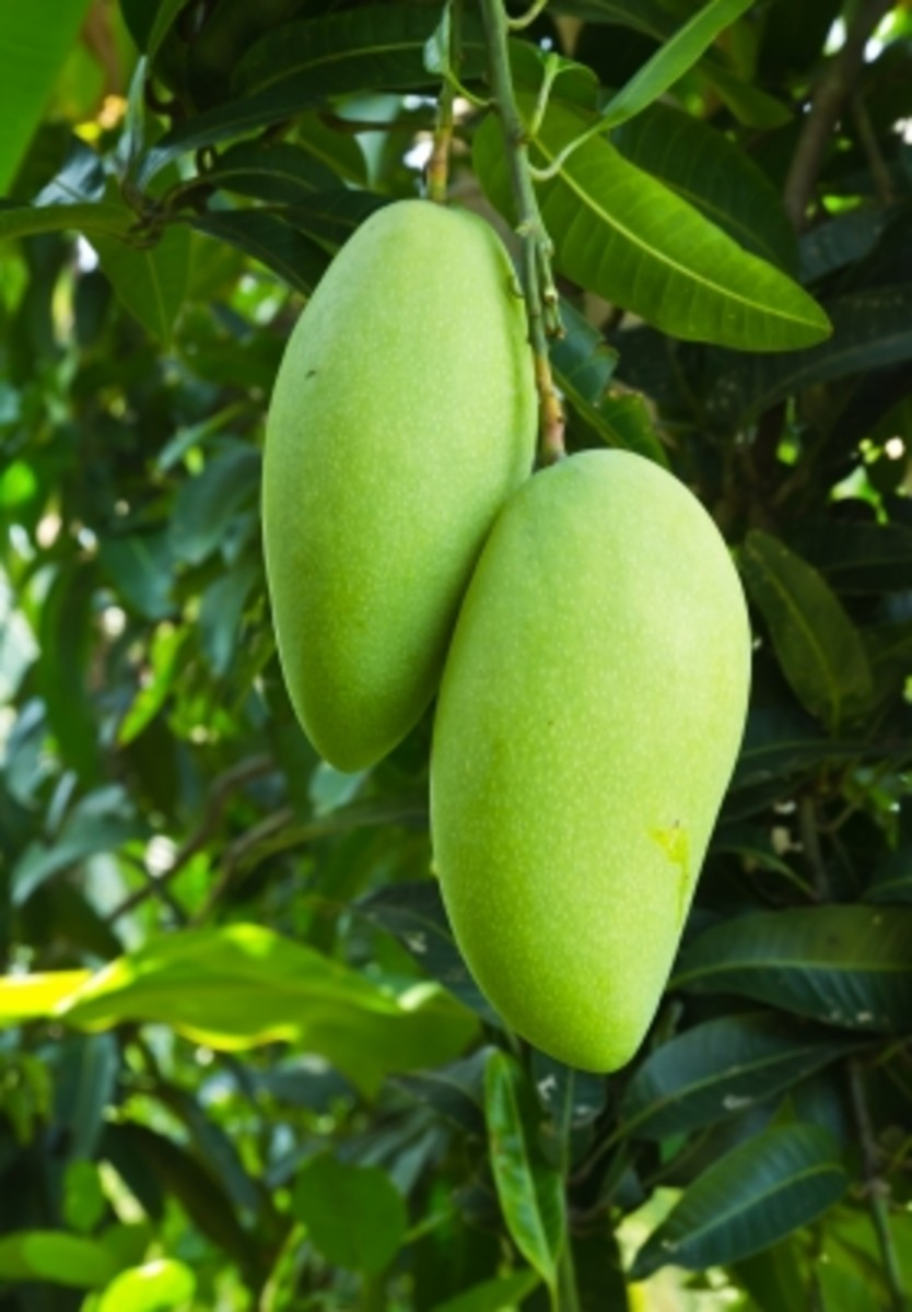 I think these are the long green mangoes that are less sour, with a touch of sweetness! Not sure, as this picture was borrowed off the web!