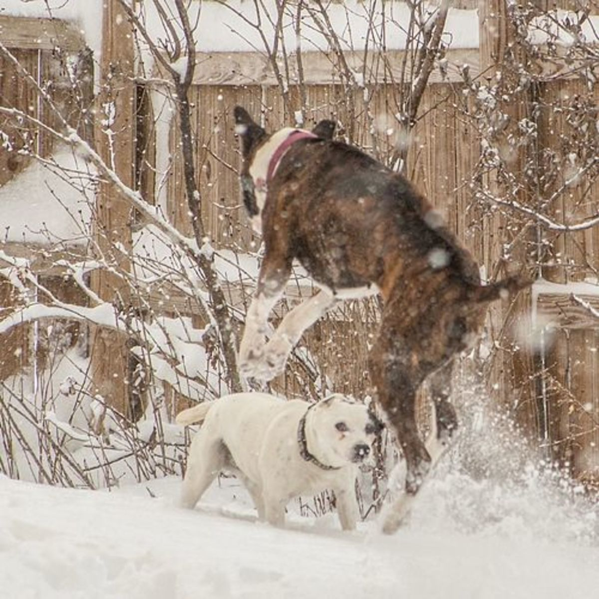 Boxer Playing in the Snow