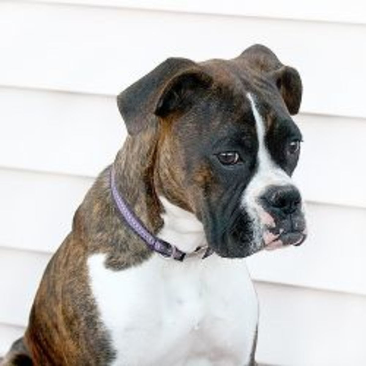 Boxer Puppy at 7 Months