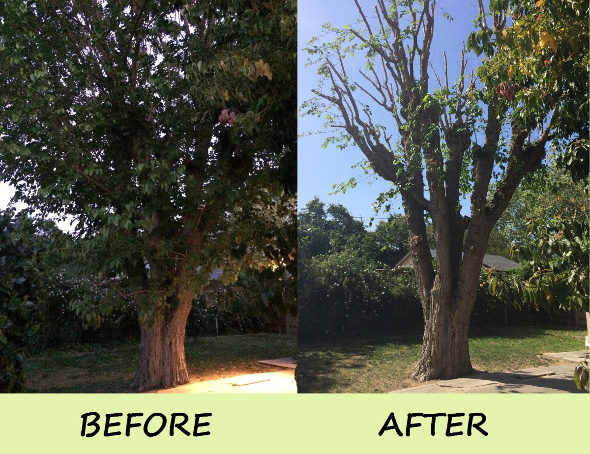 A Mulberry tree before and after it was trimmed.