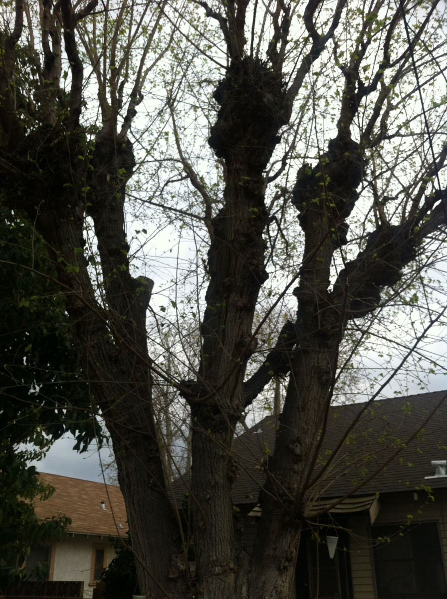 This Mulberry tree is capable of dropping hundreds of mulberries unless it gets trimmed.