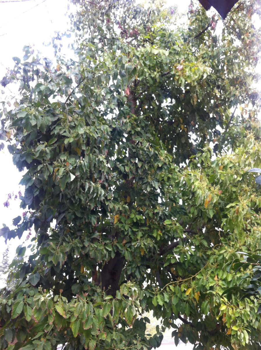 A very bushy Avocado tree before being trimmed.  I had not had this tree trimmed in about 2-3 years.