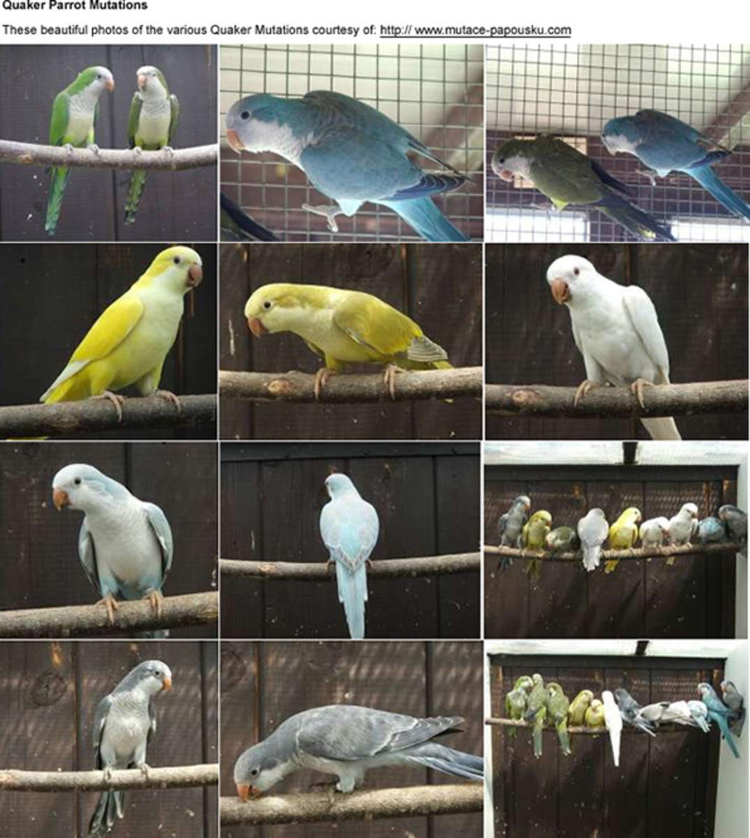 Quaker Parrot Care Sheet