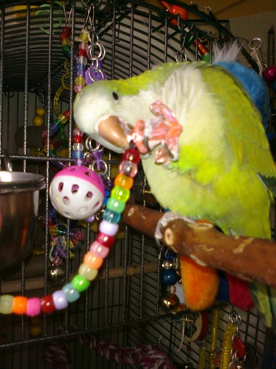 Quaker Parrot Care Sheet