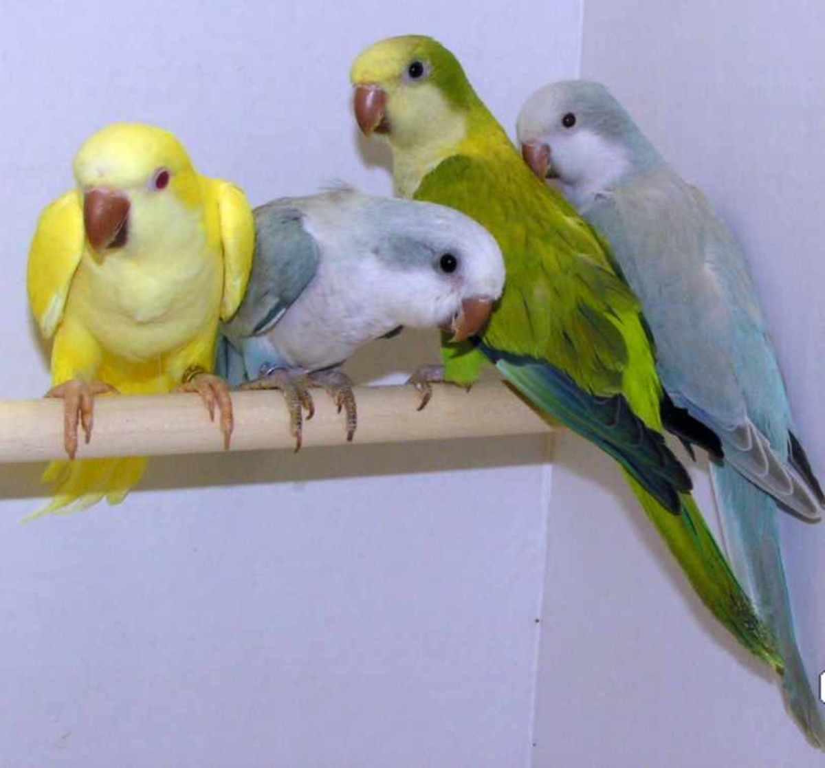 Yellow Albino, Light Blue, Bright Green