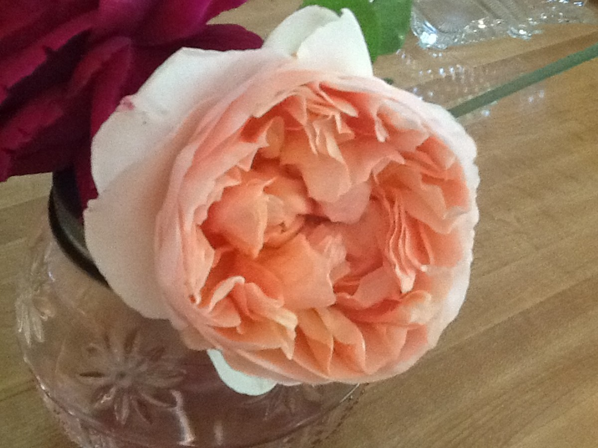 Abraham Darby A David Austin English Rose