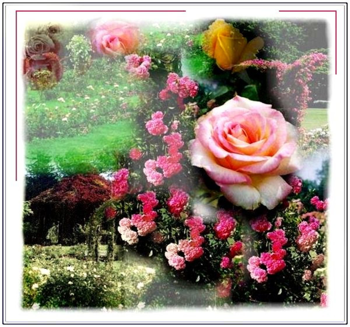 abraham-darby-a-david-austin-english-rose