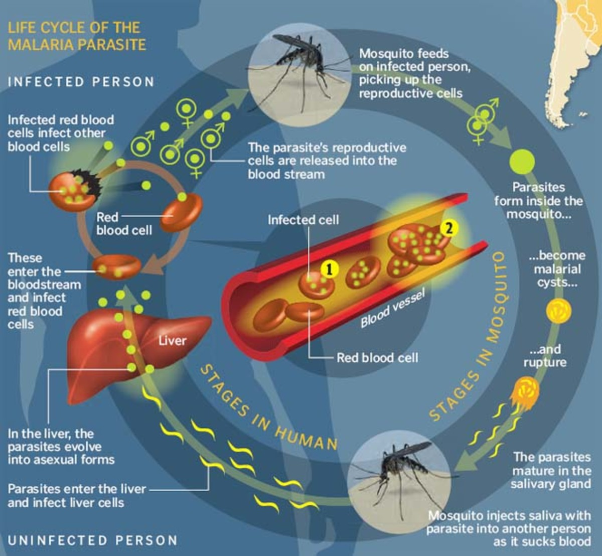 The life cycle of the Malaria parasite,  from mosquitoes to humans.