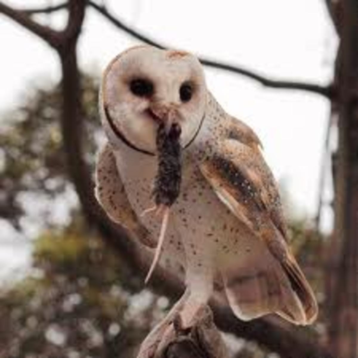 How and Why to Attract Owls to Your Backyard