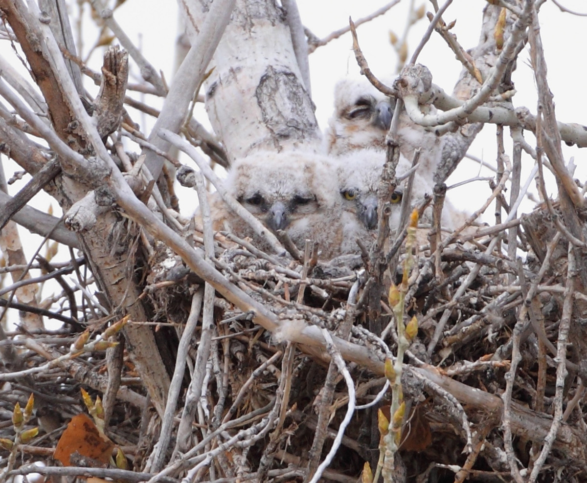 Baby Great Horned Owls are very well hidden.
