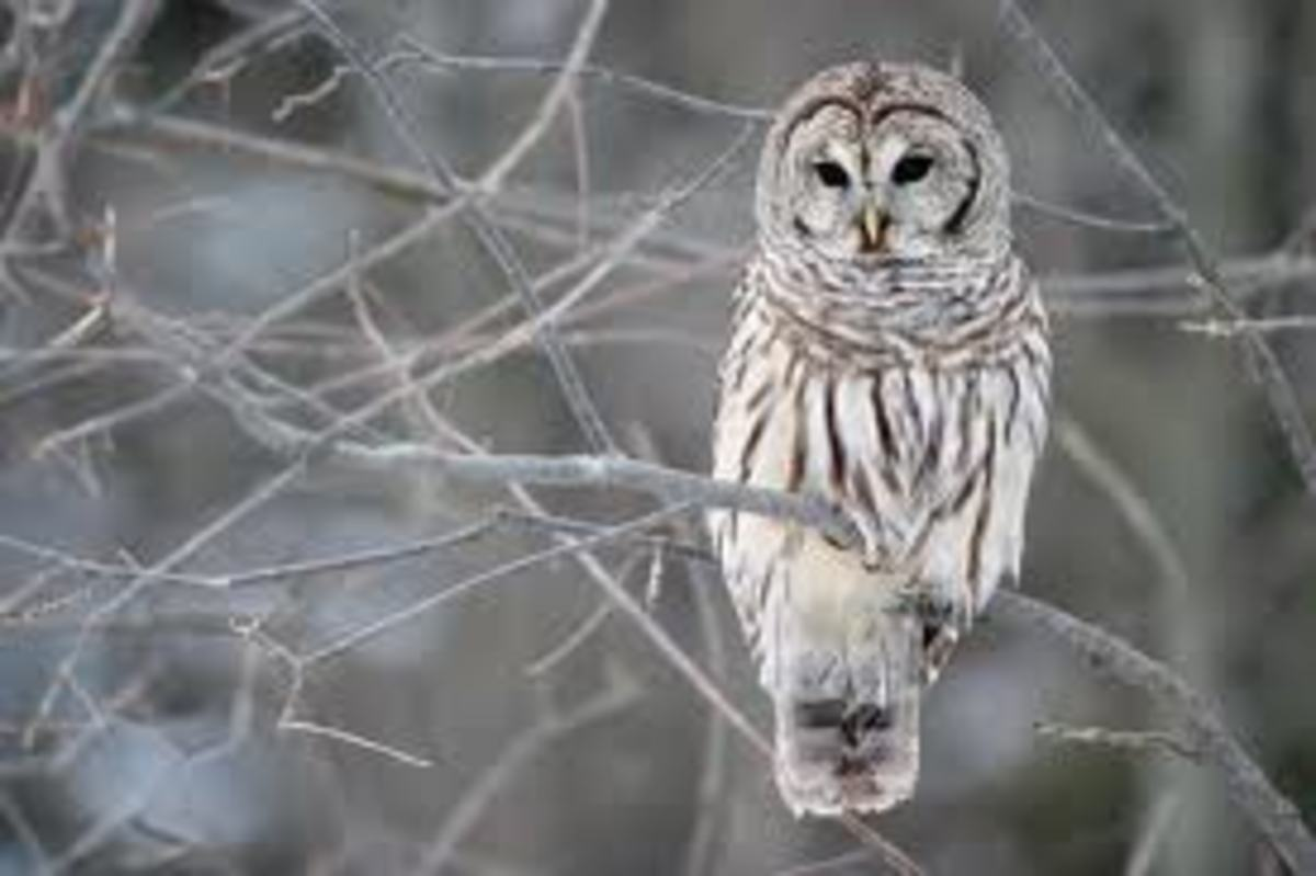 Barred Owl shows the beautiful streaking of the feathers.