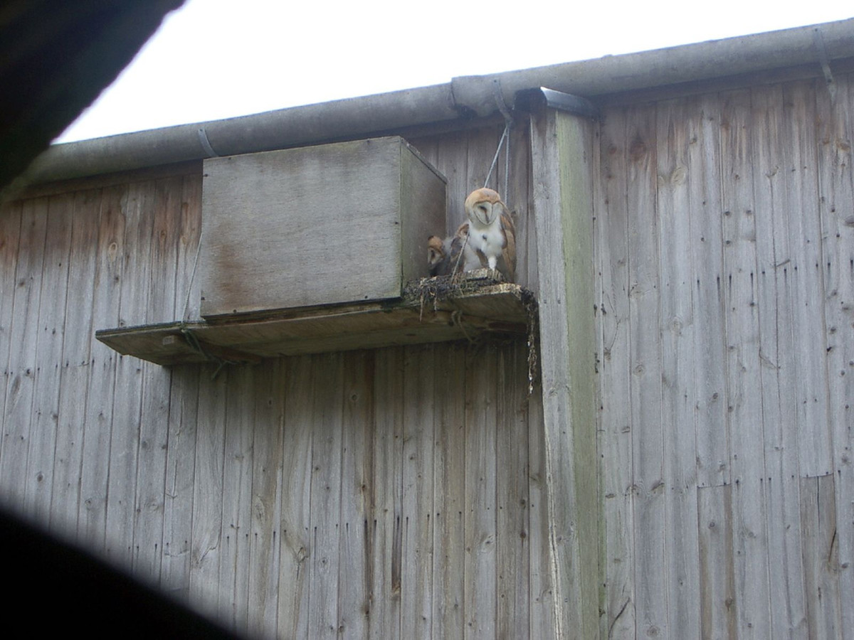 Owls will readily use nesting boxes.