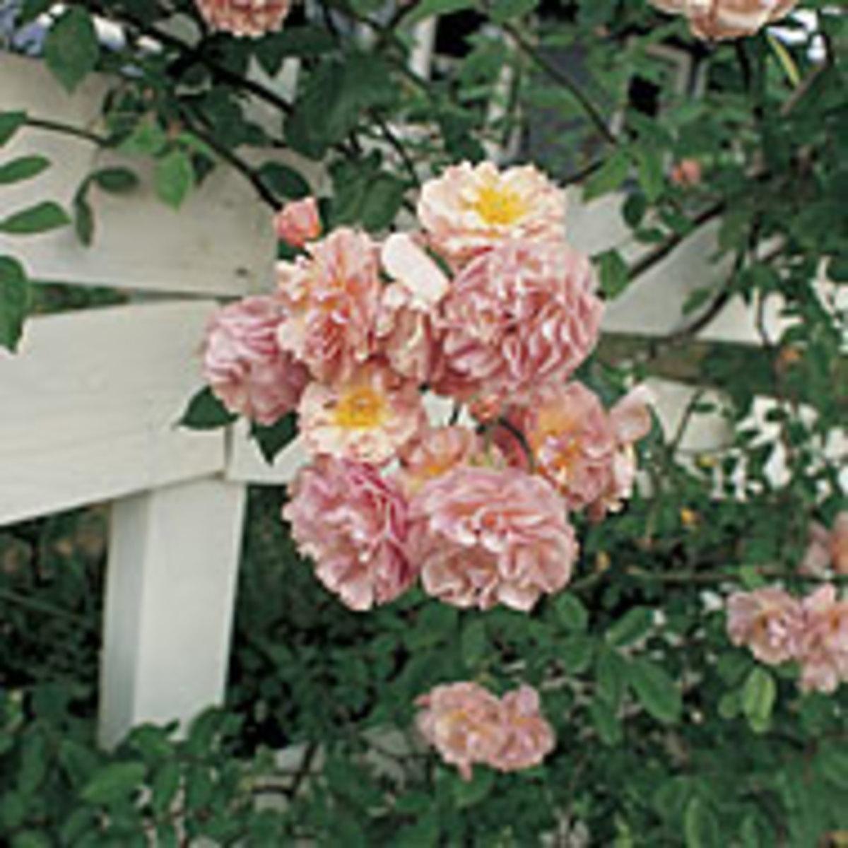 cornelia-rose-a-hybrid-musk