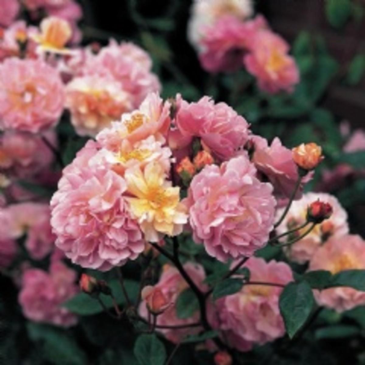 Cornelia Rose A Hybrid Musk