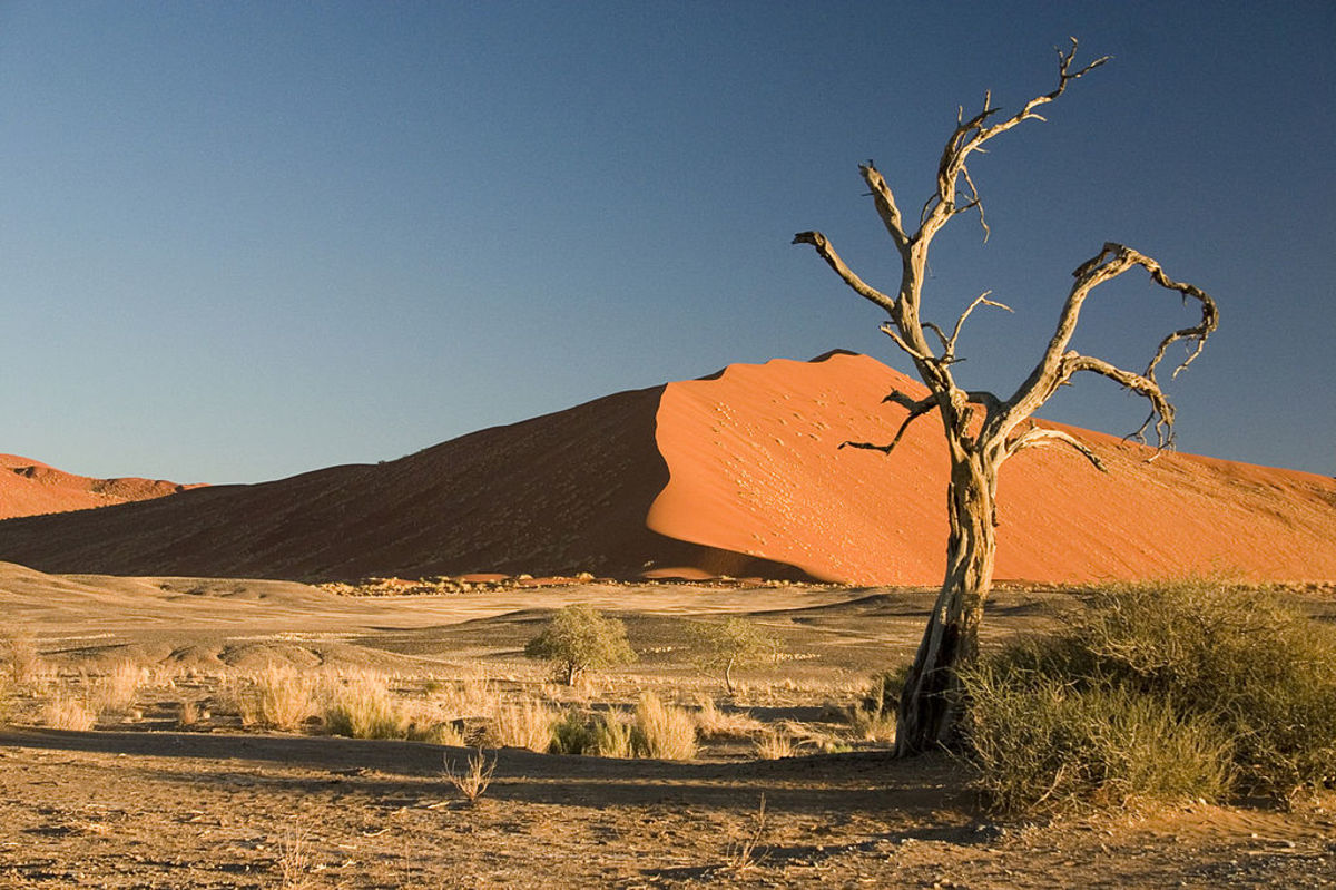 Camel Thorn Tree in Namib Desert, Namibia, Africa.  Photo by Luca Galuzzi