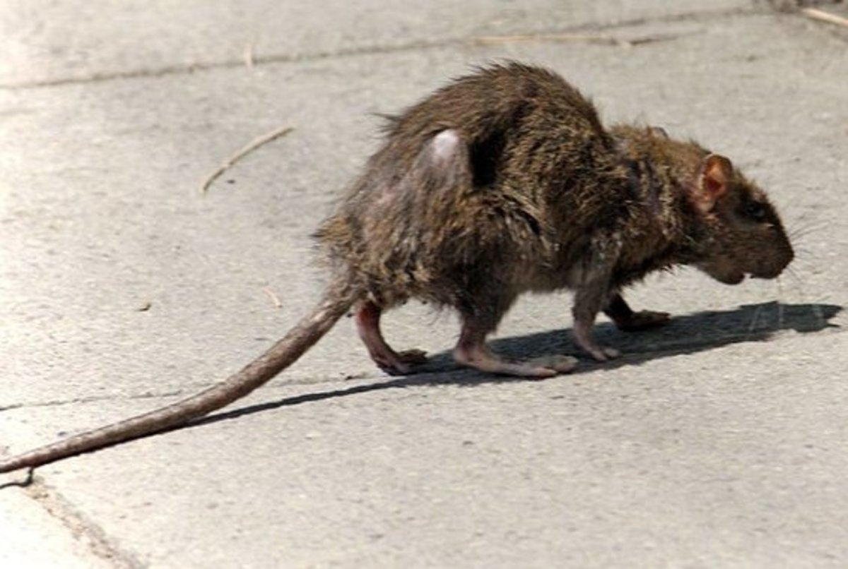 Rat Spreading Diseases