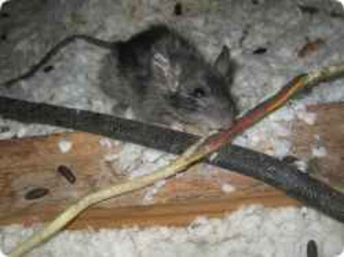 Roof Rats Chew Electrical Wiring