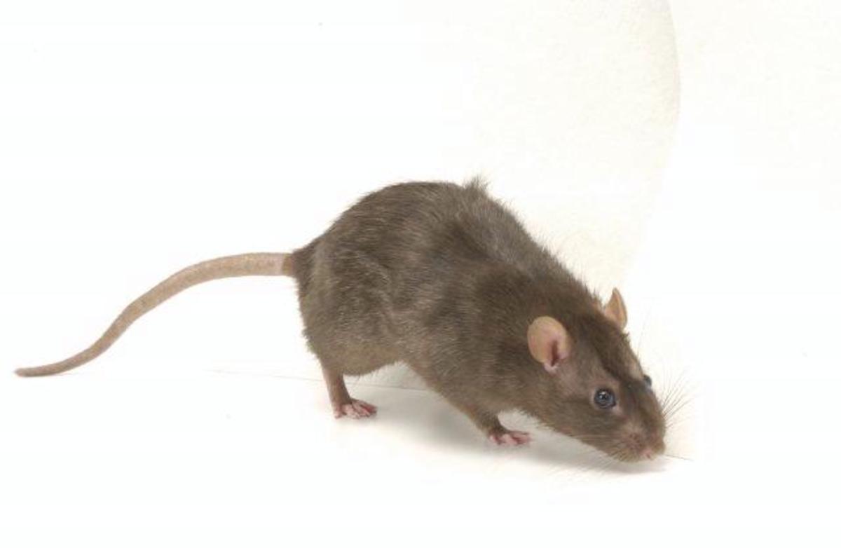Rats Problem