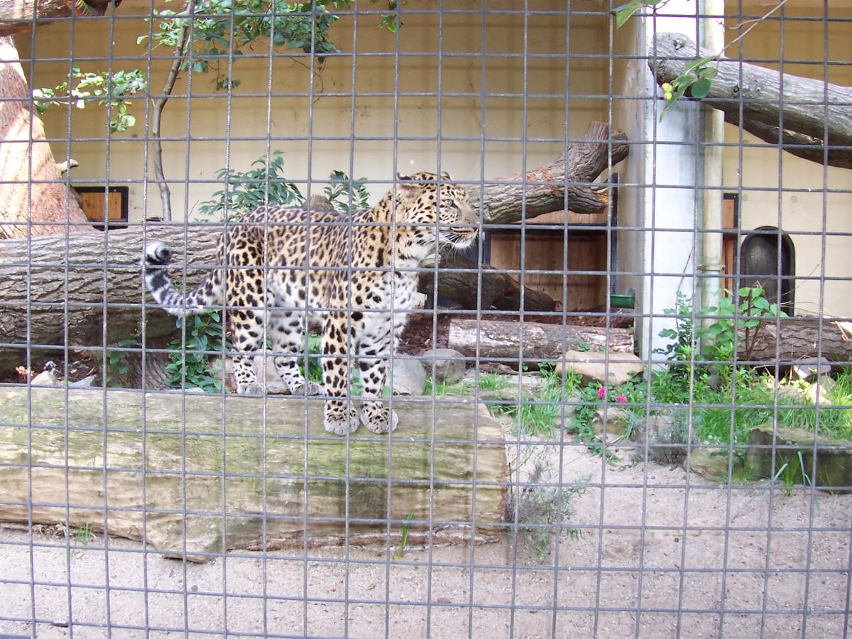 Amur leopard (Panthera pardus orientalis) in Artis Zoo, Amsterdam