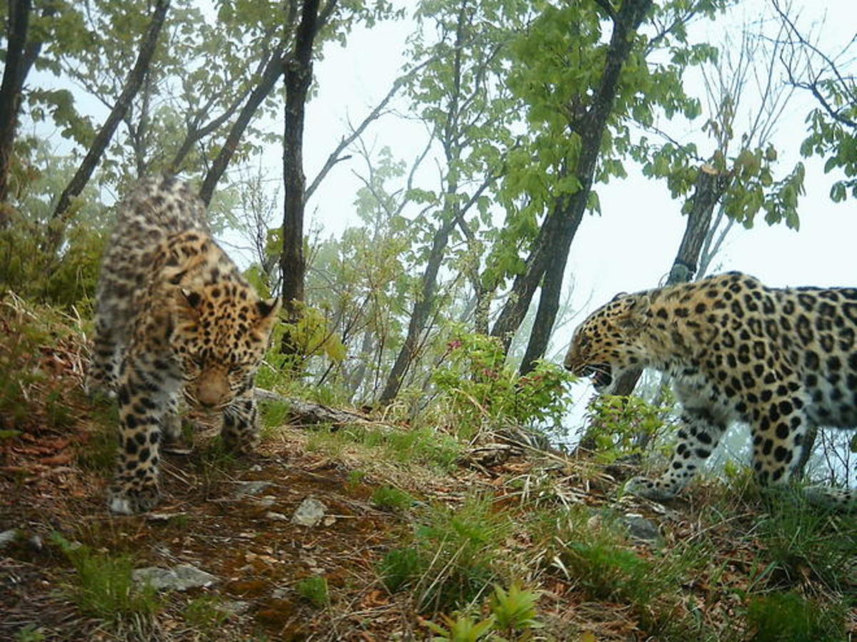 Amur leopards in their habitat