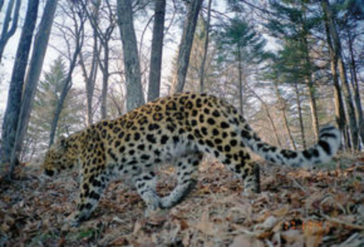 Amur leopard in its habitat