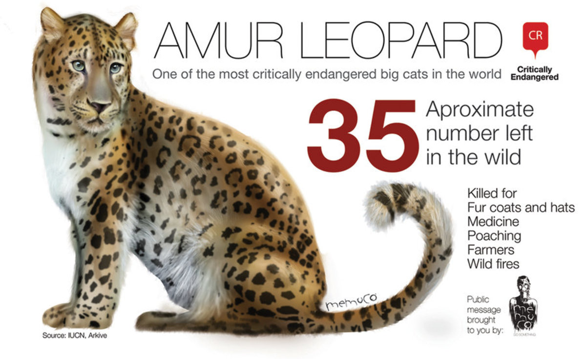 amur-leopard-a-critically-endangered-species
