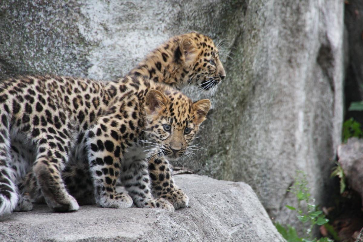 Amur leopard cubs