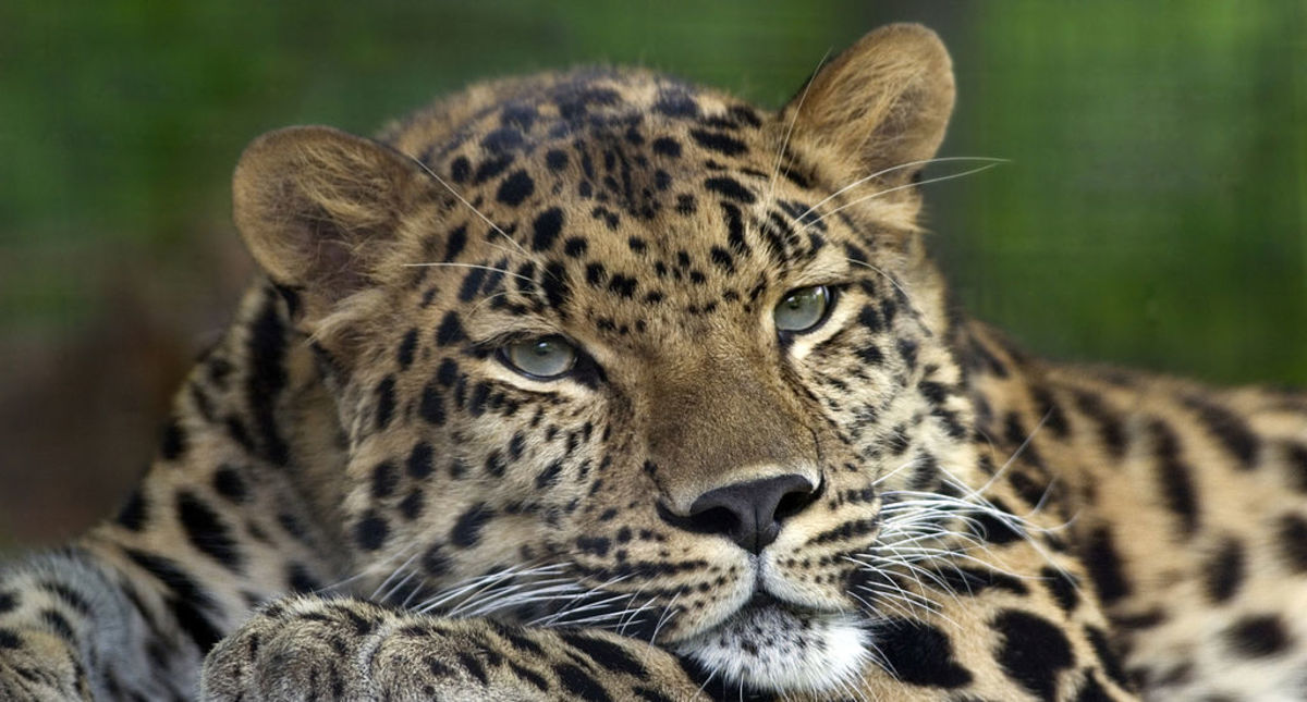 A photograph of an Amur Leopard (Panthera pardus orientalis). Picture taken at and identified by the Pittsburgh Zoo