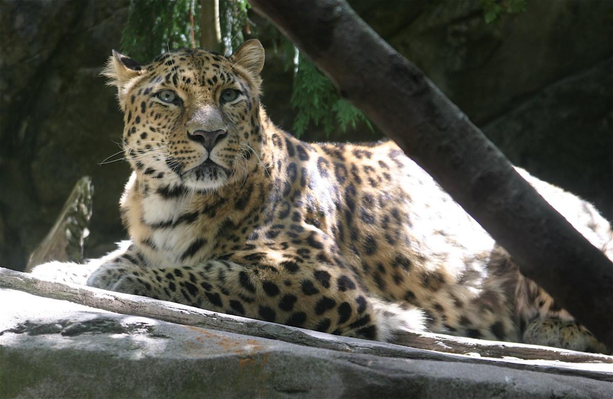 Panthera pardus orientalis (Amur Leopard) at the Oregon Zoo