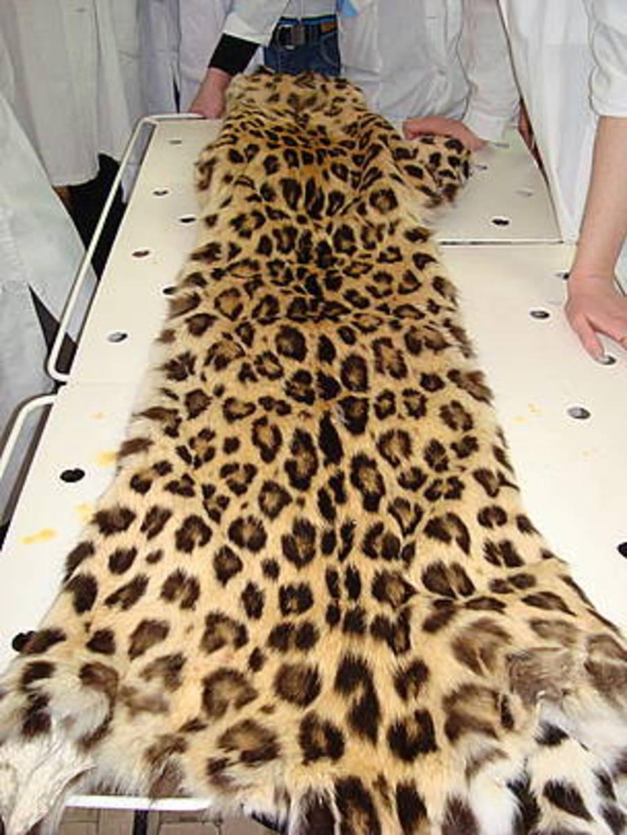 Skin of Amur leopard