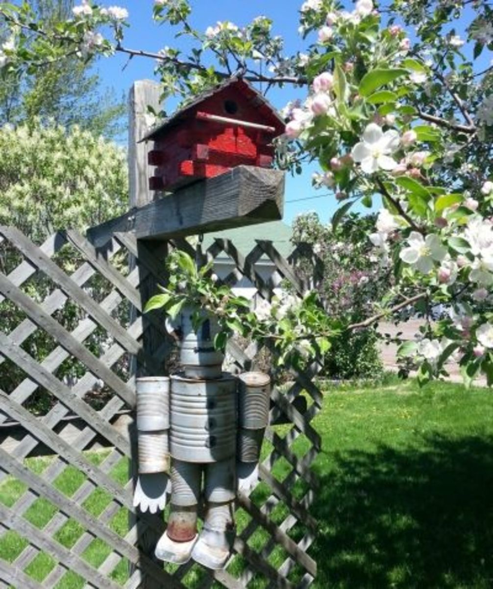 Mr Tin Man Hiding Behind the Apple Blossoms