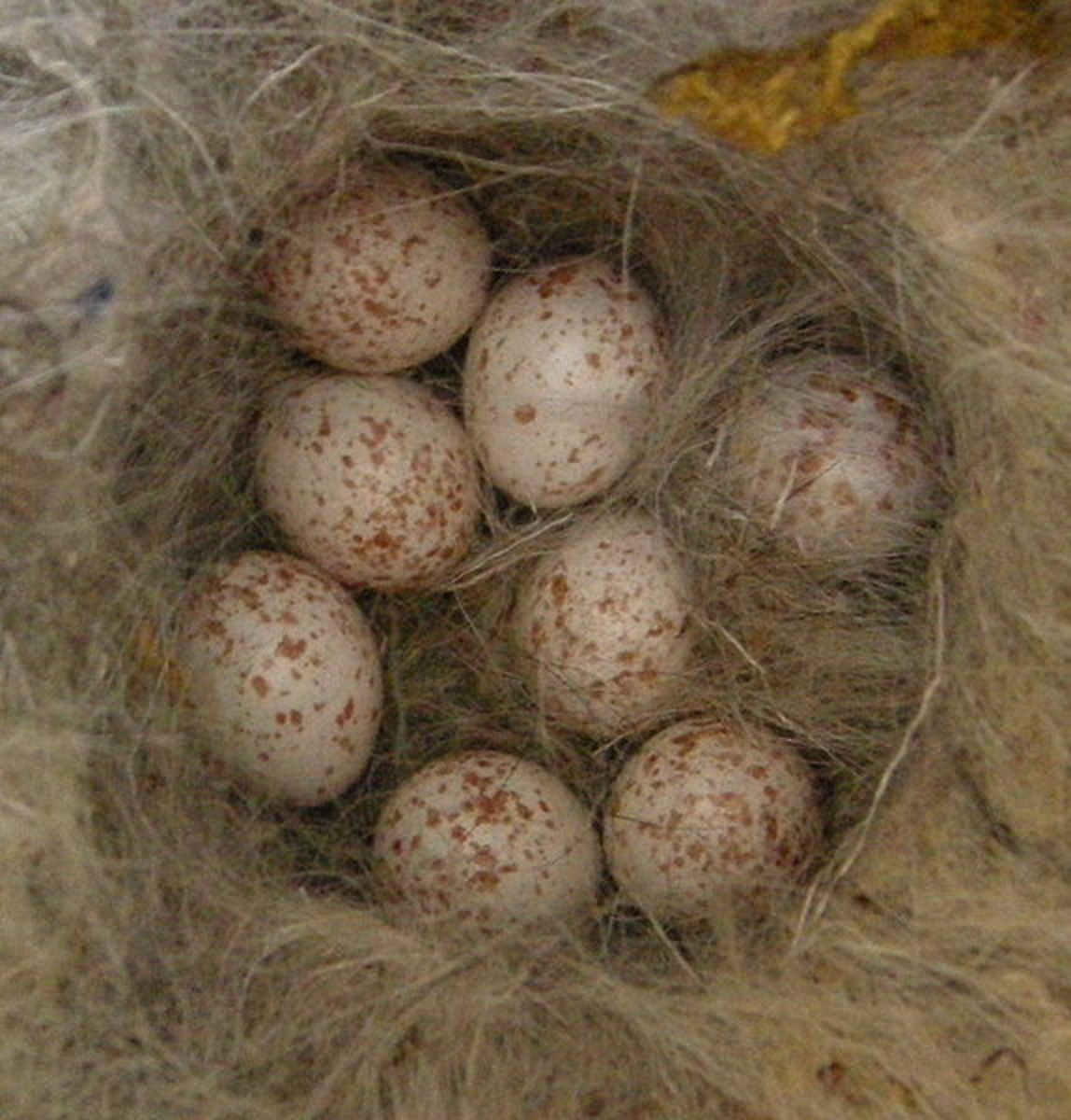 A clutch of great tit eggs. The blue tit's eggs are slightly smaller but very similar in colour. In both species the female incubates the eggs by herself for 12-16 days, often fed by the male while she is sitting on the nest..
