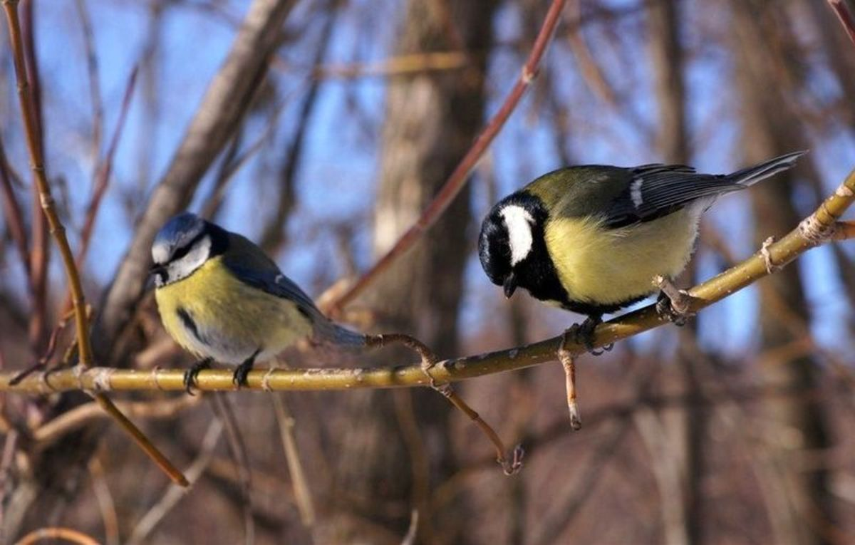 The blue tit (left) is four and a half inches long, is widespread and stays in Britain all year long. The great tit (right) is similar in terms of distribution and migratory behaviour but is bigger at 5 and a half inches long..