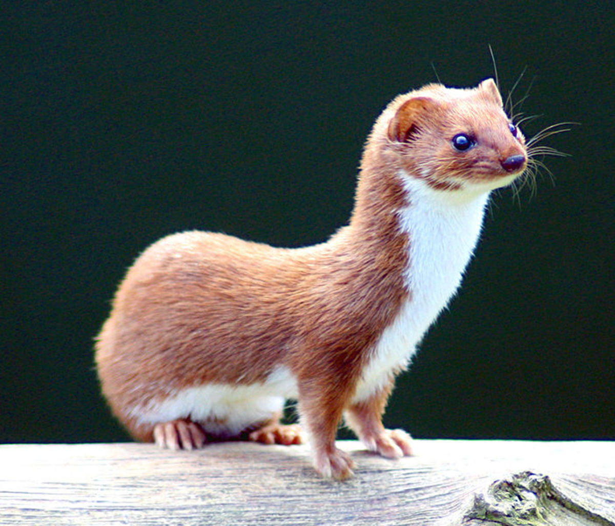 The European weasel is one of the few mammals that can squeeze through a blue and great tit nest hole.