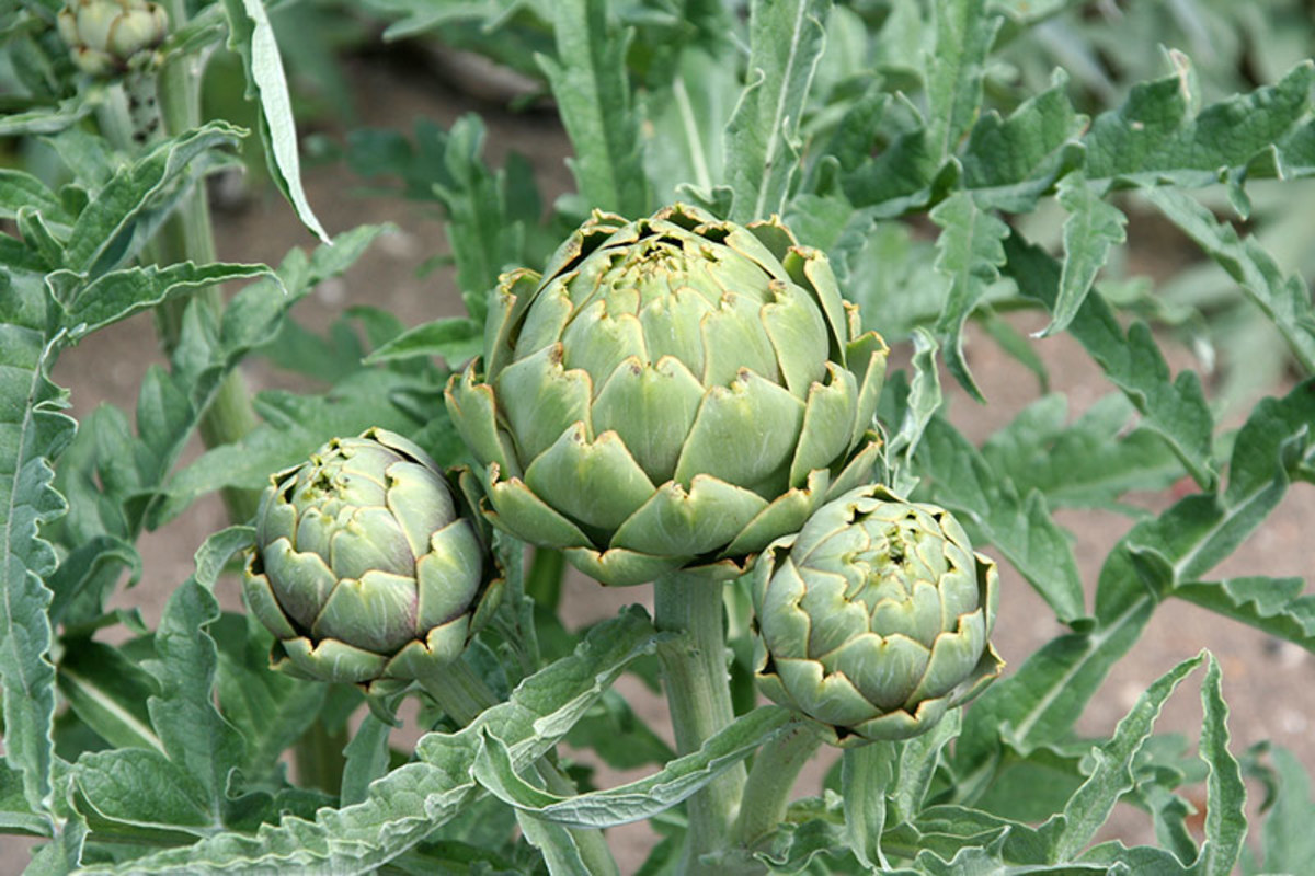 One medium artichoke contains 120 mg of sodium.