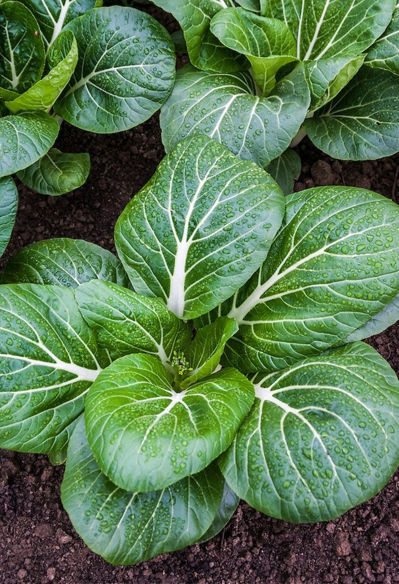 One head of Bok Choy contains 543 mg of Sodium