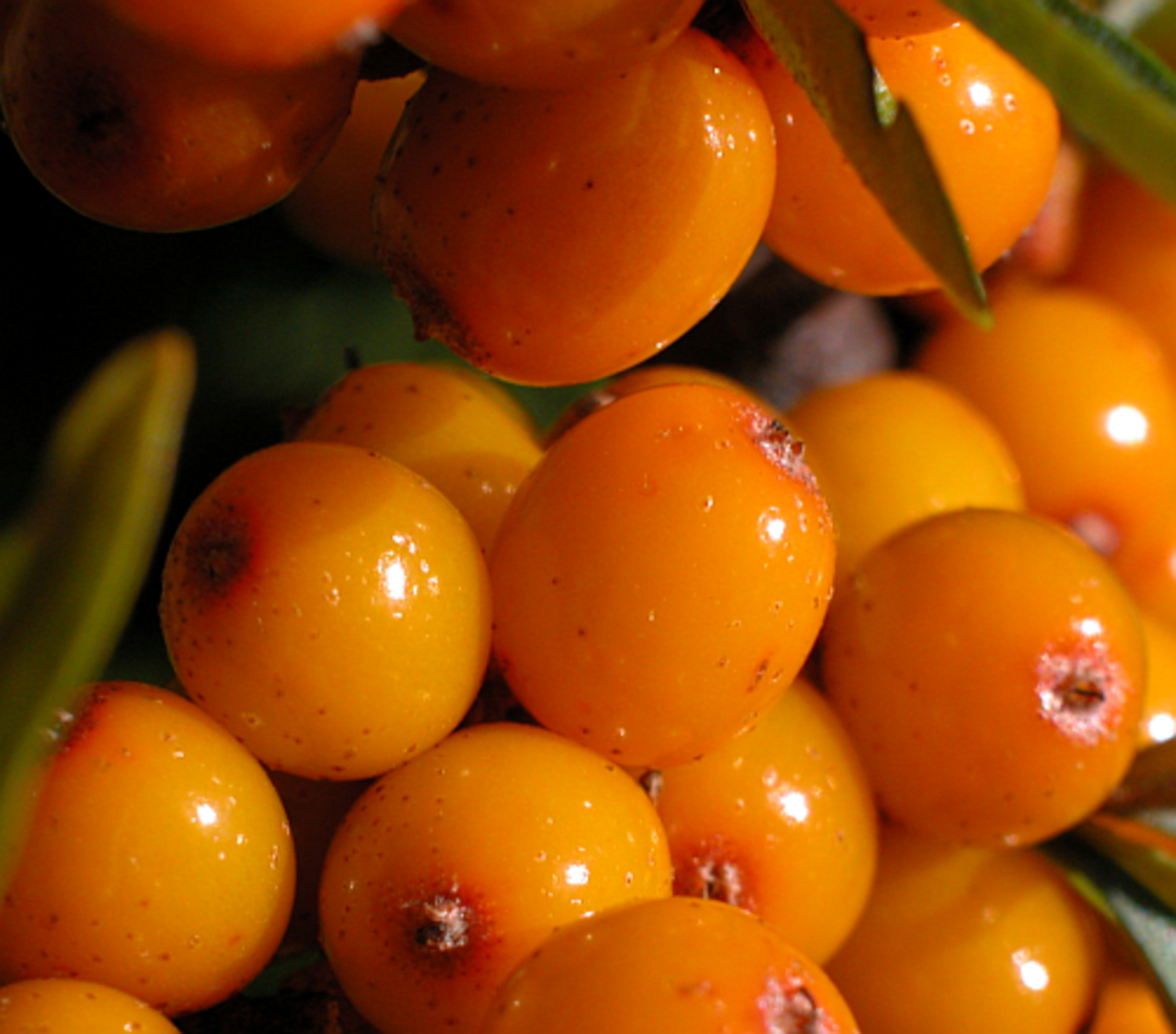 Sea Buckthorn Berries - Great for Eczema