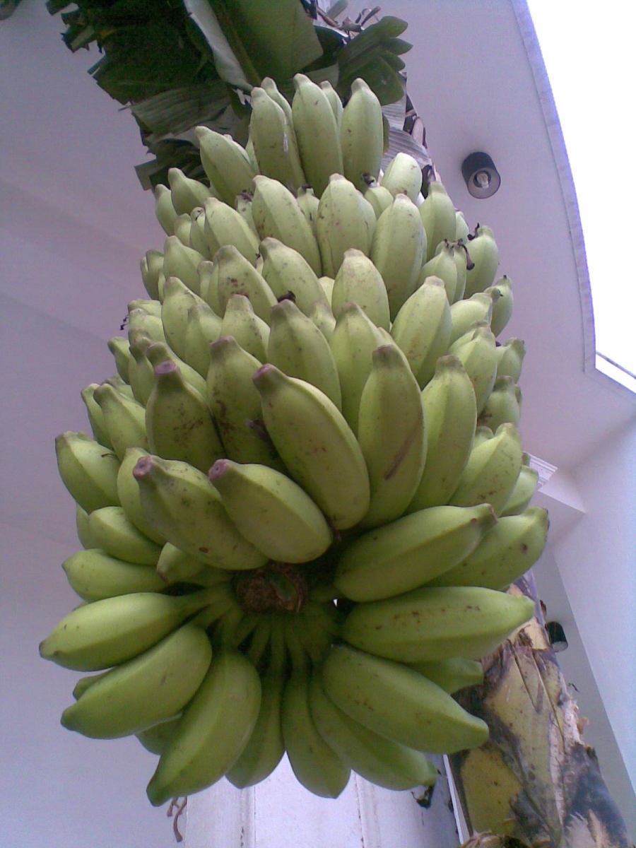 cluster of plantains